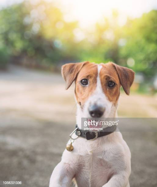 little playful jack russell terrier dog playing in garden in morning - jack russell terrier stock pictures, royalty-free photos & images