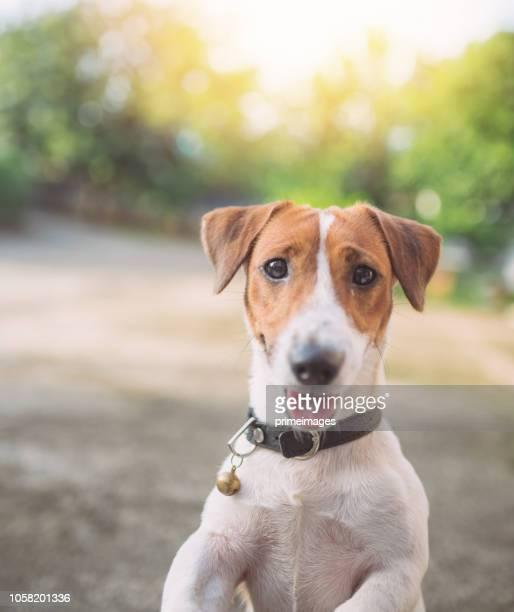 brincalhão jack russell terrier cachorrinho brincando no jardim manhã - jack russell terrier - fotografias e filmes do acervo