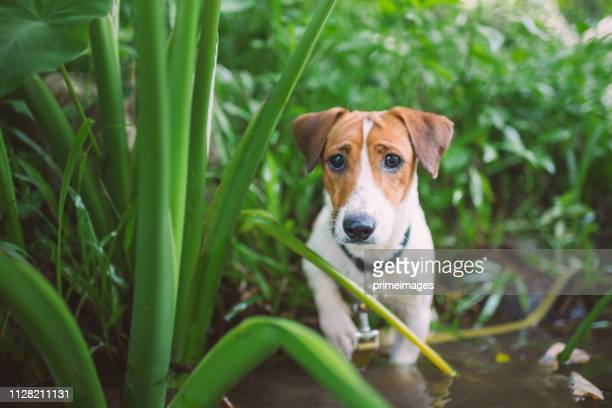 little playful jack russell terrier dog playing in waterfall - jack russell terrier foto e immagini stock