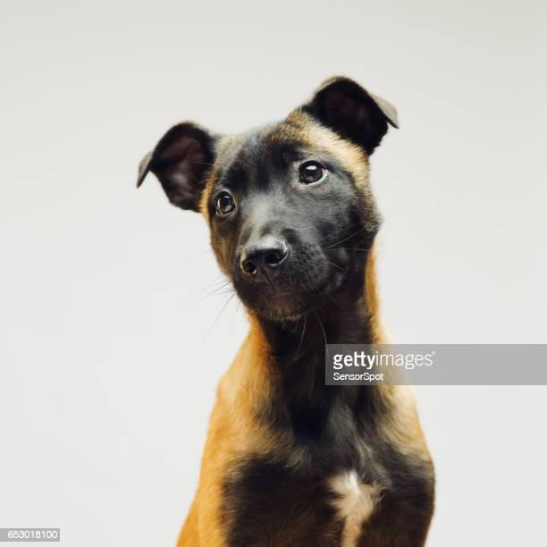 Little puppy of Malinois Belgian Berger