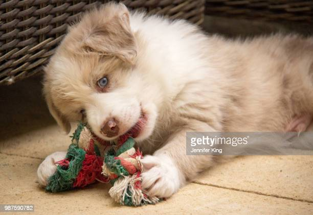little puppy - australian shepherd puppies stock pictures, royalty-free photos & images