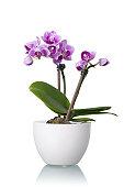 Little Purple Orchid in White Flower Bowl