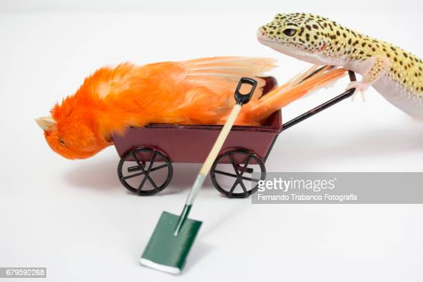 Little red canary sick bird inside a wheelbarrow pushed by a lizard to bury him at his funeral