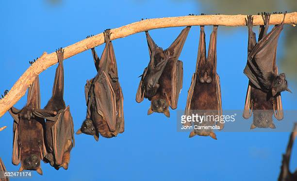 little red flying fox colony hanging from tree limb - image stock pictures, royalty-free photos & images
