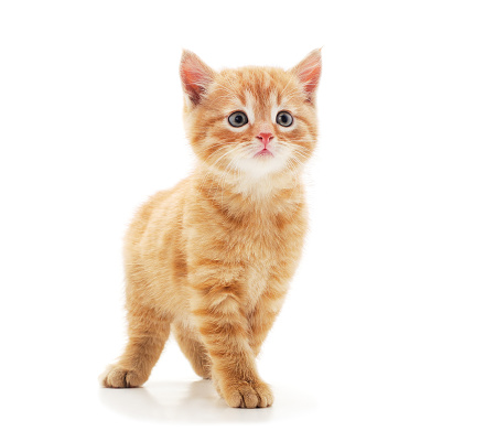 Little red kitten . 1186143372