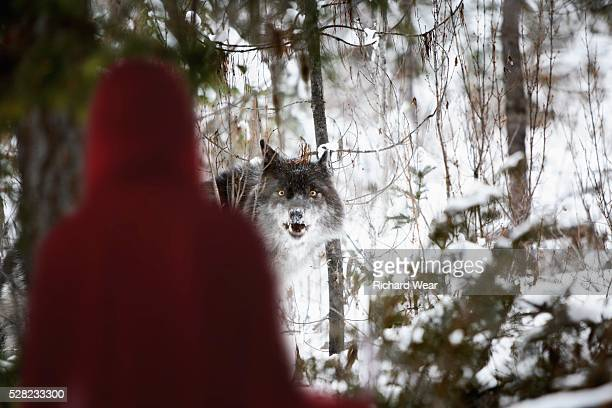 Little red riding hood looking at the big bad wolf