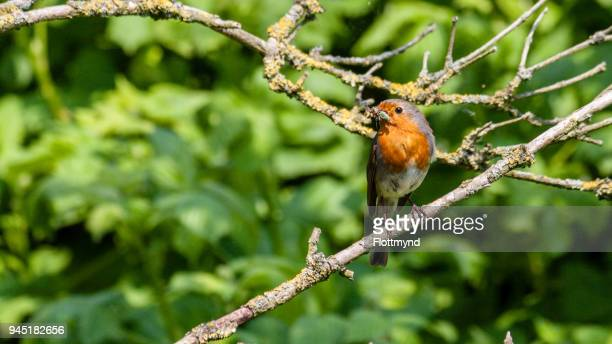 Little red Robin on a twig