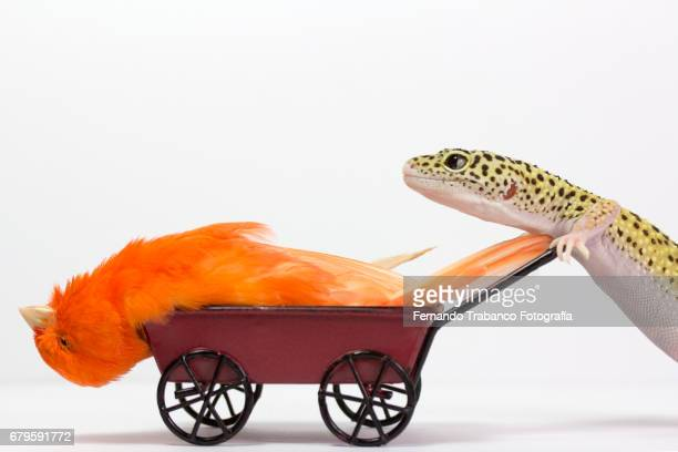 Little red sick bird canary inside a wheelbarrow pushed by a lizard for funeral and eat