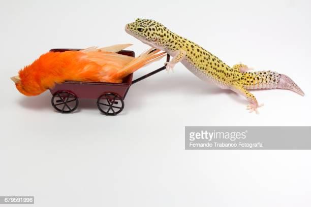 little red sick bird canary inside a wheelbarrow pushed by a lizard for funeral and eat - sarg stock-fotos und bilder