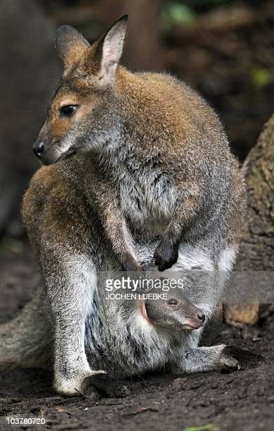 A little Rednecked Wallaby peers out of its mother Bertha's pouch on September 1 2010 at the zoo in Hanover central Germany In the wildlife the...