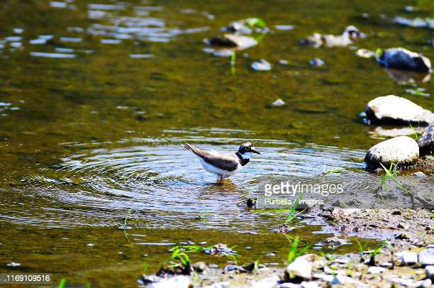 little ringed plover - purbella stock photos and pictures