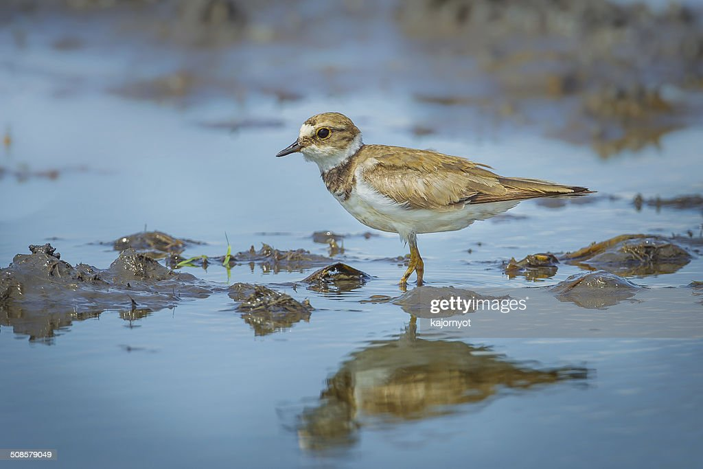 Little Ringed Plover : Stock Photo