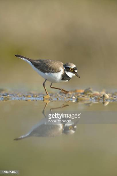 little ringed plover (charadrius dubius) searching for food in the silt of an abandoned gravel pit, saxony-anhalt, germany - wader bird stock photos and pictures
