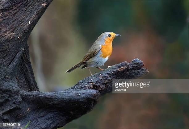 Little robin bird sitting in a tree