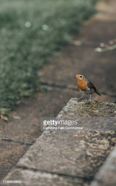 little robin - twig stock pictures, royalty-free photos & images