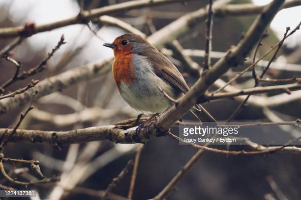 little robin redbreast - lynton stock pictures, royalty-free photos & images