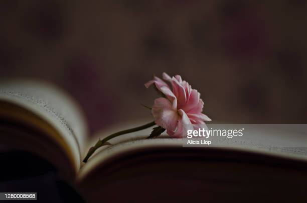 little rose - poetry literature stock pictures, royalty-free photos & images