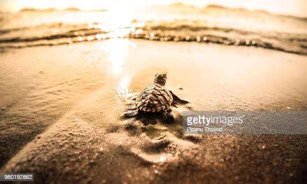little sea turtle (chelonioidea) on waters edge - sea turtle stock pictures, royalty-free photos & images