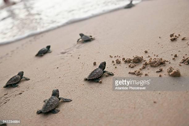 little sea turtles on barbados west coast beach - dermoquélidos fotografías e imágenes de stock