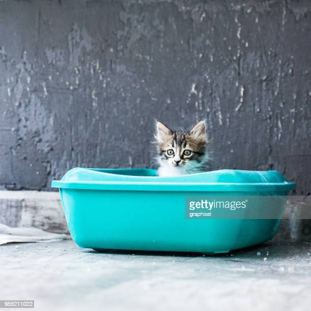 little siberian breed cat sitting in litter box - litter box stock photos and pictures