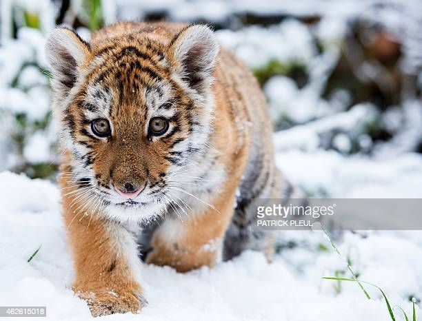 Little Siberian tiger Dragan makes its way through the snow in its enclosure at the zoo in Eberswalde eastern Germany on January 31 2015 Dragan was...