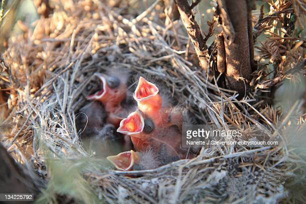 little sparrows in net - nanette j stevenson stock photos and pictures