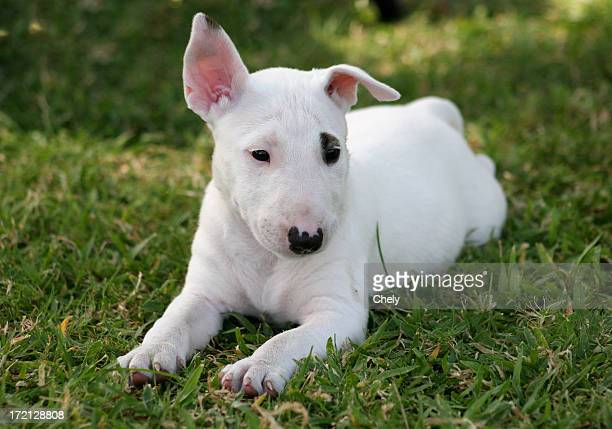 little spot 2 - bull terrier stock photos and pictures