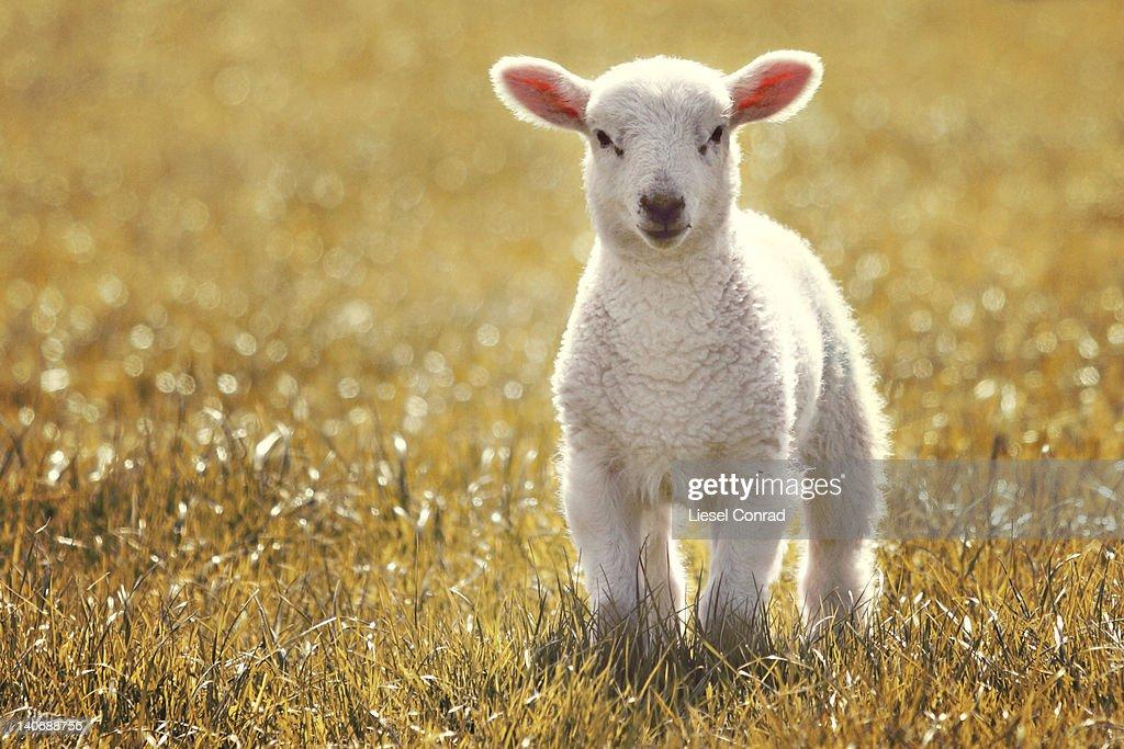 Little spring lamb : Stock Photo