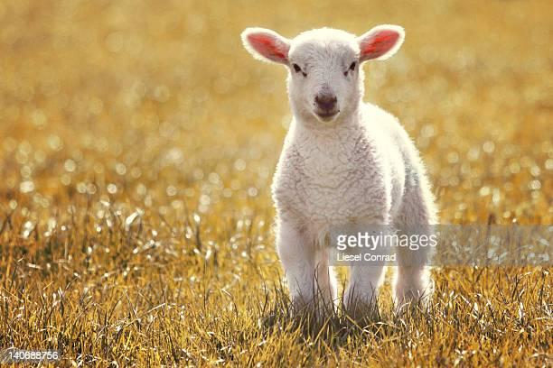 little spring lamb - agnellino foto e immagini stock