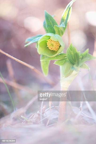 little spring young wild flower - loops7 stock photos and pictures