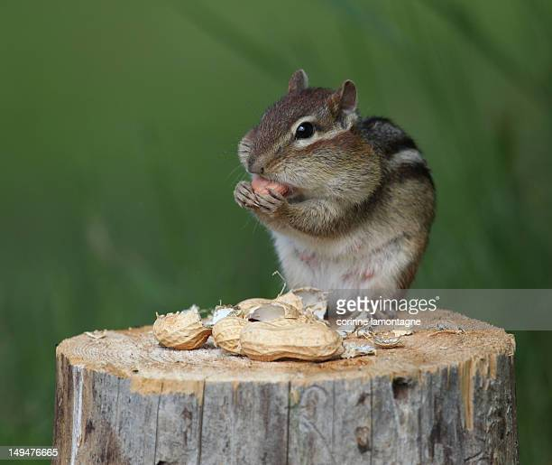 Little squirrel eating nuts