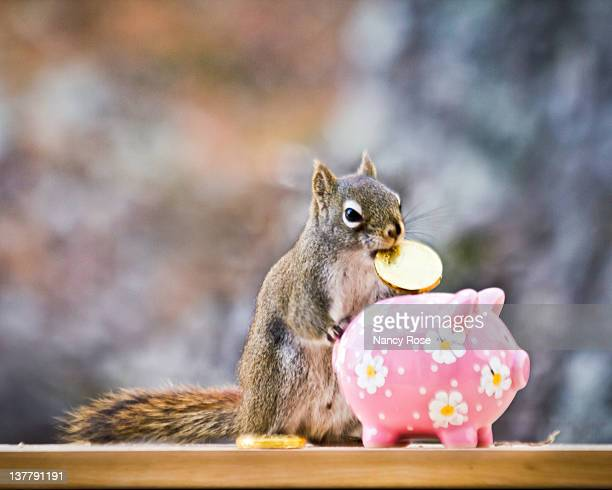 little squirrel with gold coin in his mouth - bedford nova scotia stock pictures, royalty-free photos & images