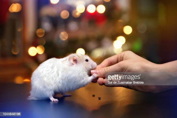little syrian hamster eating from the hand of a child with a bokeh of christmas lights in the background - hamster imagens e fotografias de stock