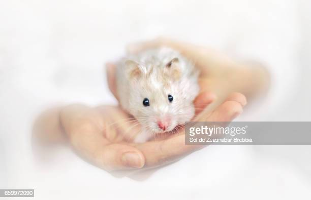 Little syrian hamster peeking out of a girl's hands on a white background