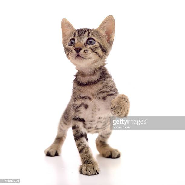 little tabby cat - bengal cat stock pictures, royalty-free photos & images