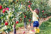 Little toddler boy picking up red apples in apple garden. Harvesting fruit. Autumn season lifestyle.