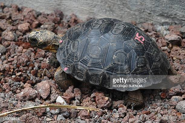 A little tortoise with genes of the Floreana Island giant tortoise species which was born in captivity is pictured in a breeding centre at the...