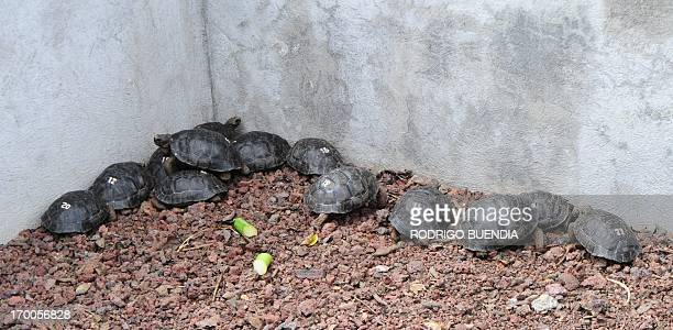 Little tortoises with genes of the Floreana Island giant tortoise species which were born in captivity are pictured in a breeding centre at the...