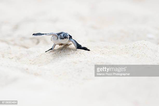 little turtle running on the beach - green turtle stock pictures, royalty-free photos & images