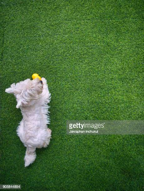 little westie dog - west highland white terrier stock photos and pictures