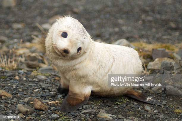 Little white baby fur seal