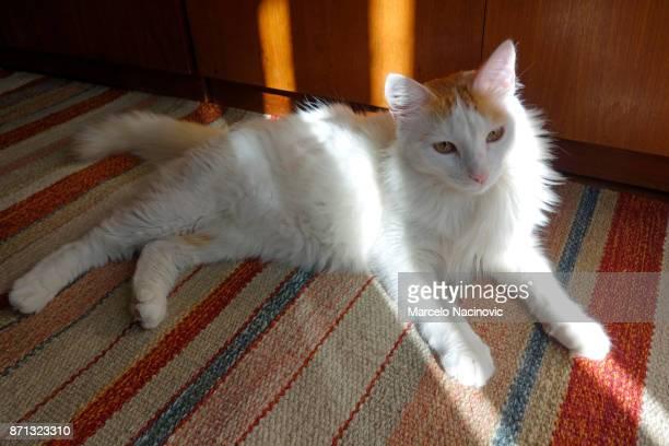 A Little White Cat