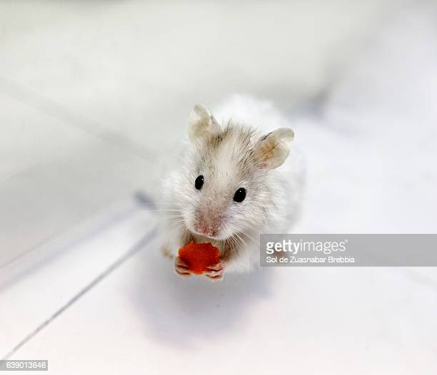 Little white hamster eating a mini piece of carrot by itself