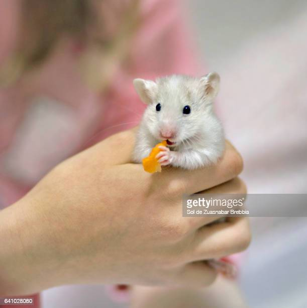 Little white hamster eating carrot held in a child's hand