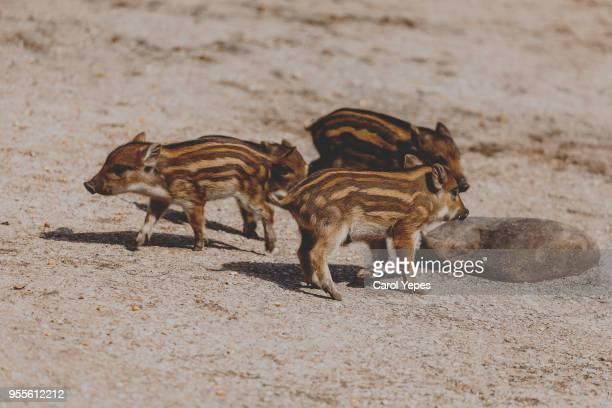 little wild boars