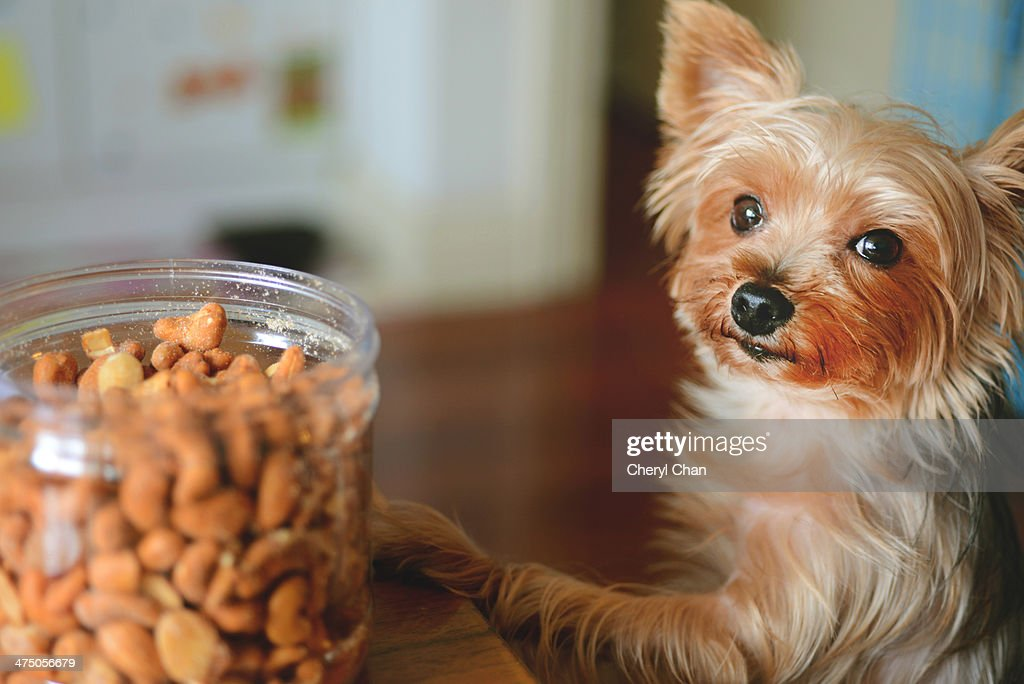 little yorkie asking for snacks : Stock Photo