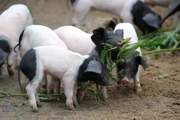 DEU: 'Baby Boom' At Zoo Cologne - Eight Very Rare Swabian-Hall Swine Born