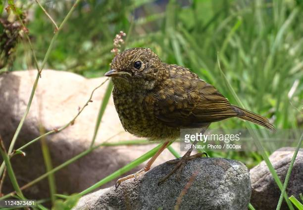 little.robin - natur stock pictures, royalty-free photos & images