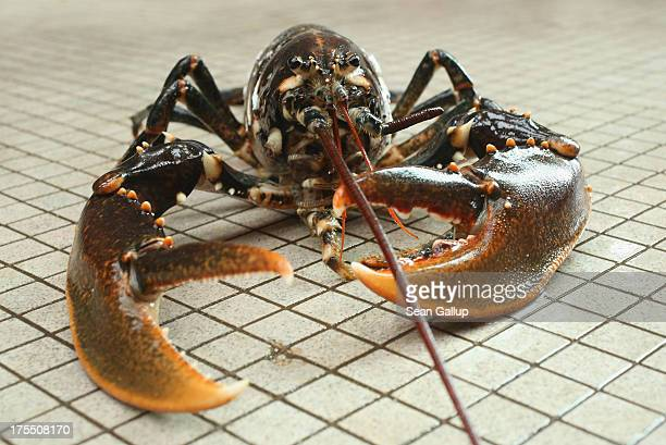 A live adult female European lobster lies on the floor for a photo at the Helgoland Biological Institute part of the Alfred Wegener Institute for...
