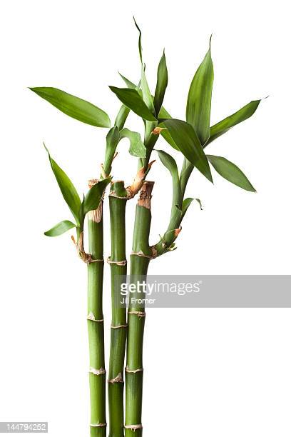 Live bamboo plant isolated on white background